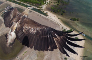 Drone photograph of an eagle in flight